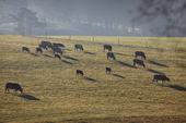 Boskapsdjur på bete