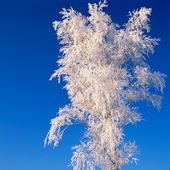 Frost på träd