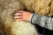Ull på får