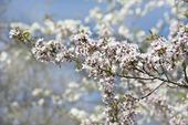 Vårkörsbär, prunus subhirtella