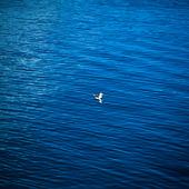 Mås i vattnet
