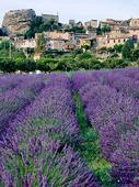 Lavendel vid Saignon i Provence, Frankrike
