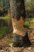 Bävergnagt träd