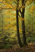 Höst i bokskogen