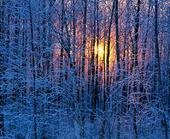 Solen i frrostiga vinterträd