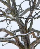 Dött vinterträd