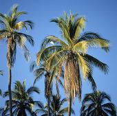 Vit häger i palm, Mexico