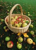 Äpplen i korg