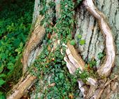 Murgröna på ekstam