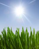Gräs i solljus