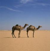 Två kameler i öknen