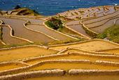 Japanska risodlingar