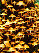 Föränderlig tofsskivling på trädstam