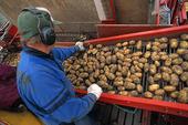 Potatisskörd