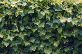 Grön växtstaket