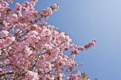 Japanskt prydnadskörsbär