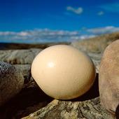 Ägg bland klippor