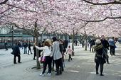 Japansk prydnadskörsbär i Kungsträdgården