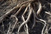Trädrötter uppgrävda