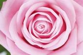 Rosa tulpan