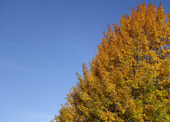 Höstträd