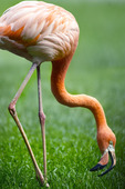 Red flamingo i park