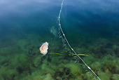 Brännmanet vid fiskenät