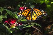 Monarkfjäril (Danausplexippus)
