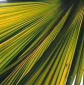 Dubbelkokosnöt, Palmblad