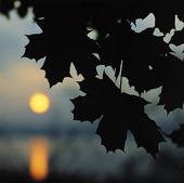 Löv i solnedgång