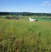 Vit häst i landskap, Värmland