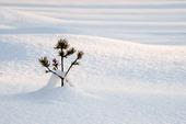 Växt i snötäcke