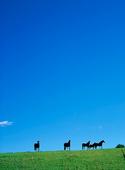 Hästar på åker