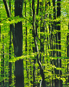 Bokskog om våren
