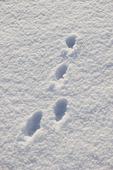 Harspår i snö.