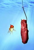 Guldfisk vid köttstycke