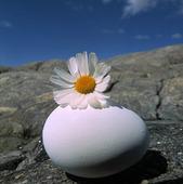 Blomma på ägg