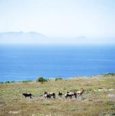 Antiloper på Kaphalvön, Sydafrika