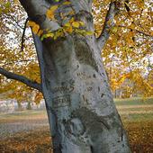 Inristningar i trädstam