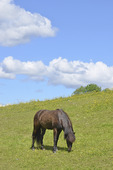 Islandshäst i beteshage
