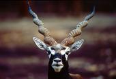 Afrikanskt hjort