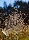 Spindel i spindelnät
