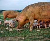 Sugga med griskultingar