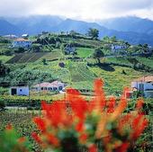 Vingårdar på Madeira, Portugal