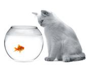 katt och en guldfisk