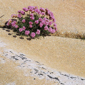 Strandtrift på klippa