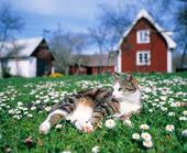 Katt bland tusenskönor