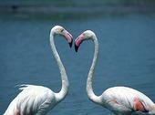Två flamingos med hjärtform