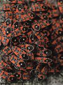 Riddarskinnbaggar