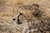 Gepard i Namibia